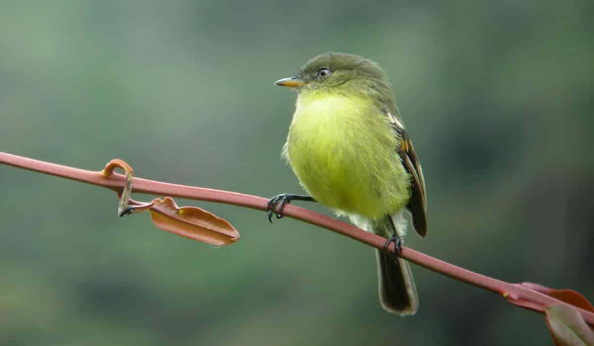 avistamiento de aves en El Puyo